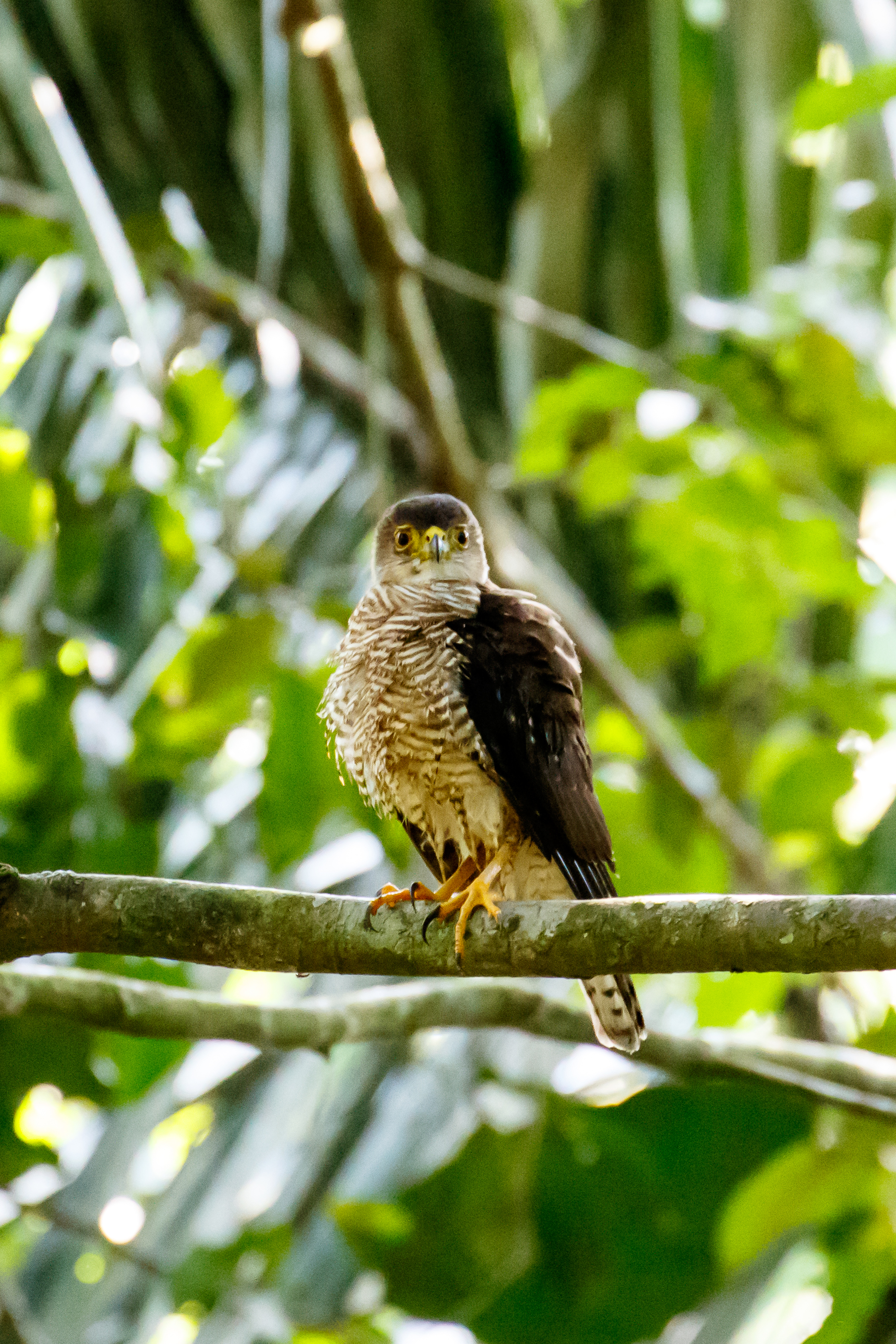 tiny hawk in Soberania National Park