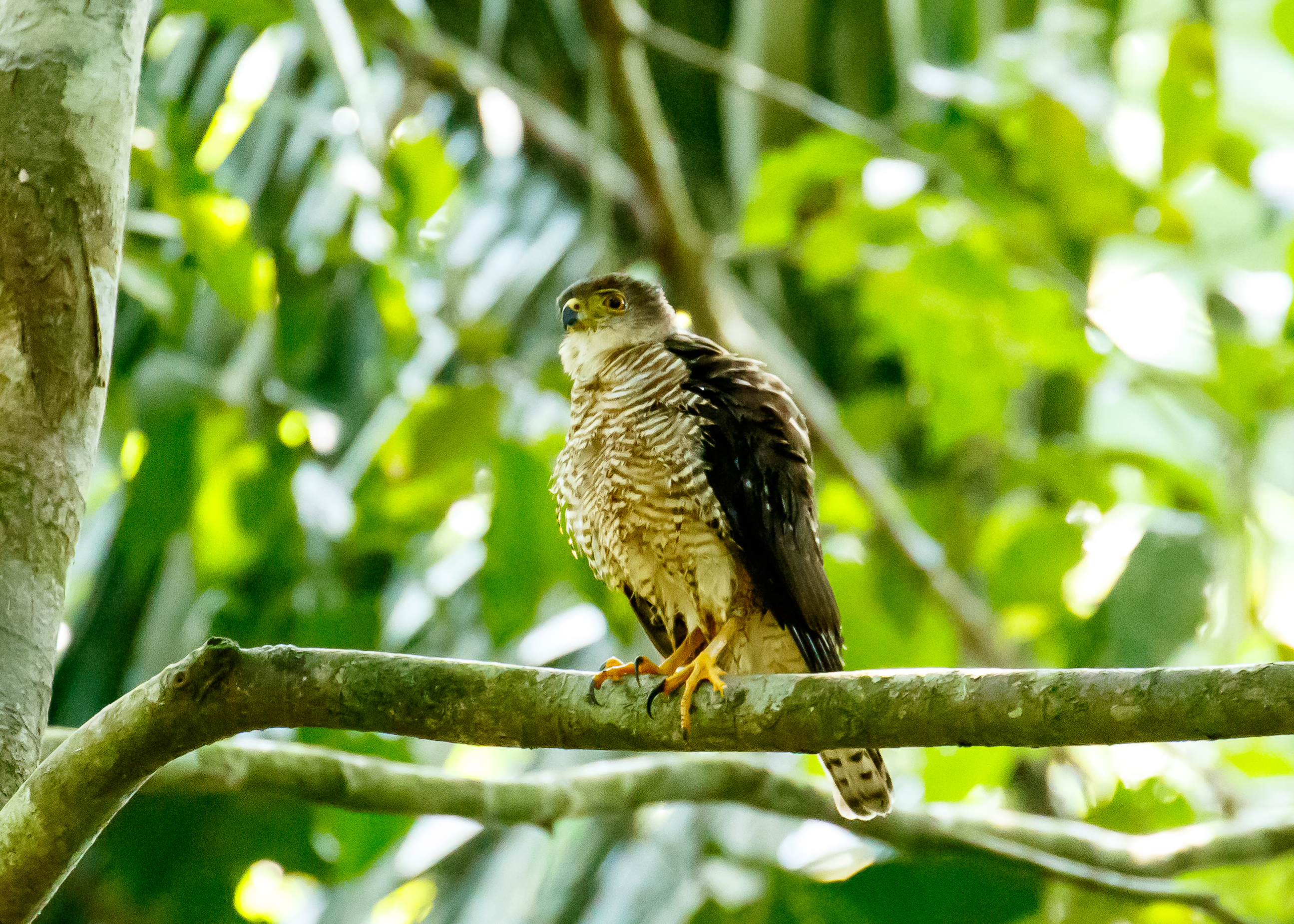 Tiny Hawk visits Soberania National Park, Panama-featured_image