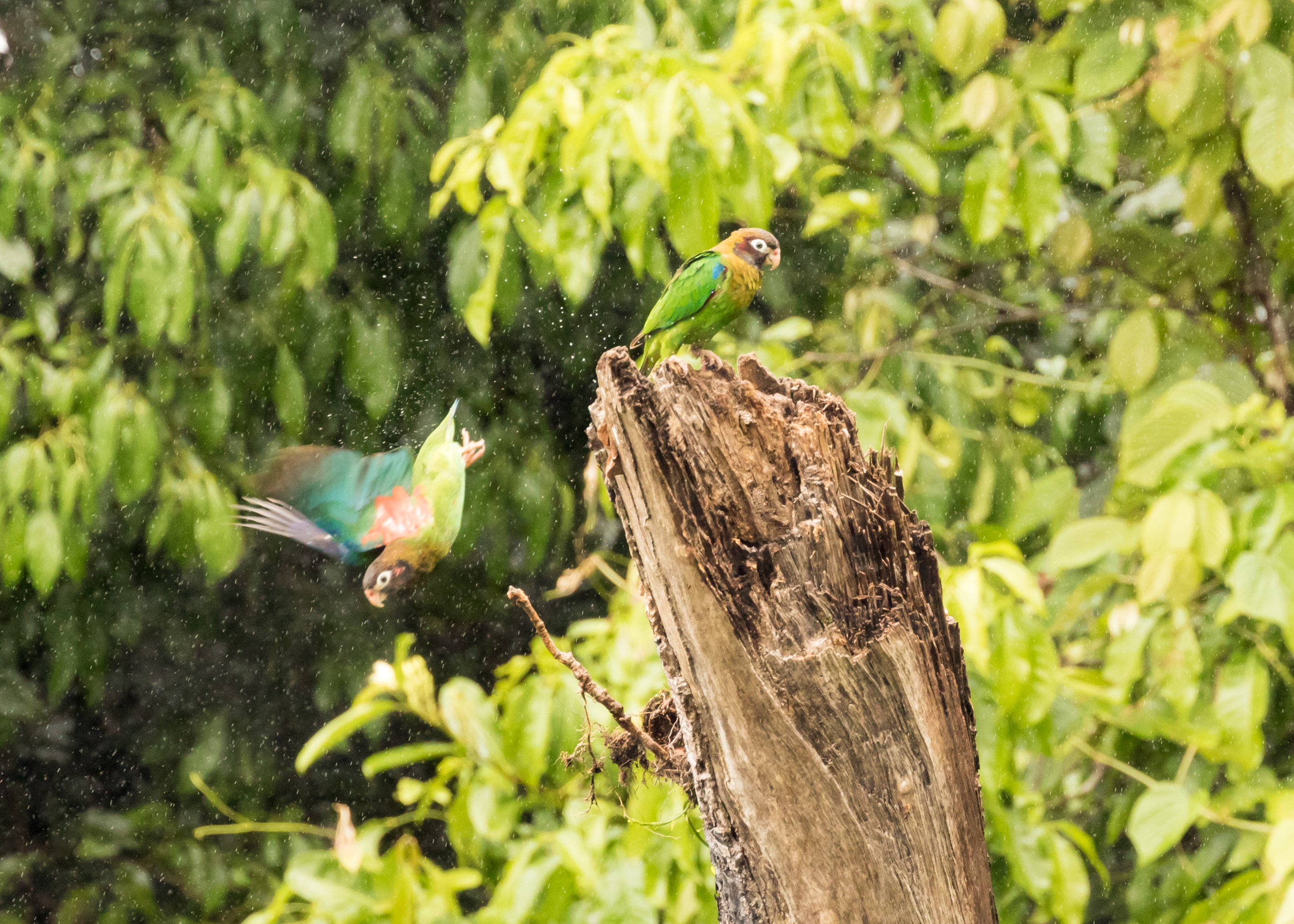 brown-hooded parrot pair