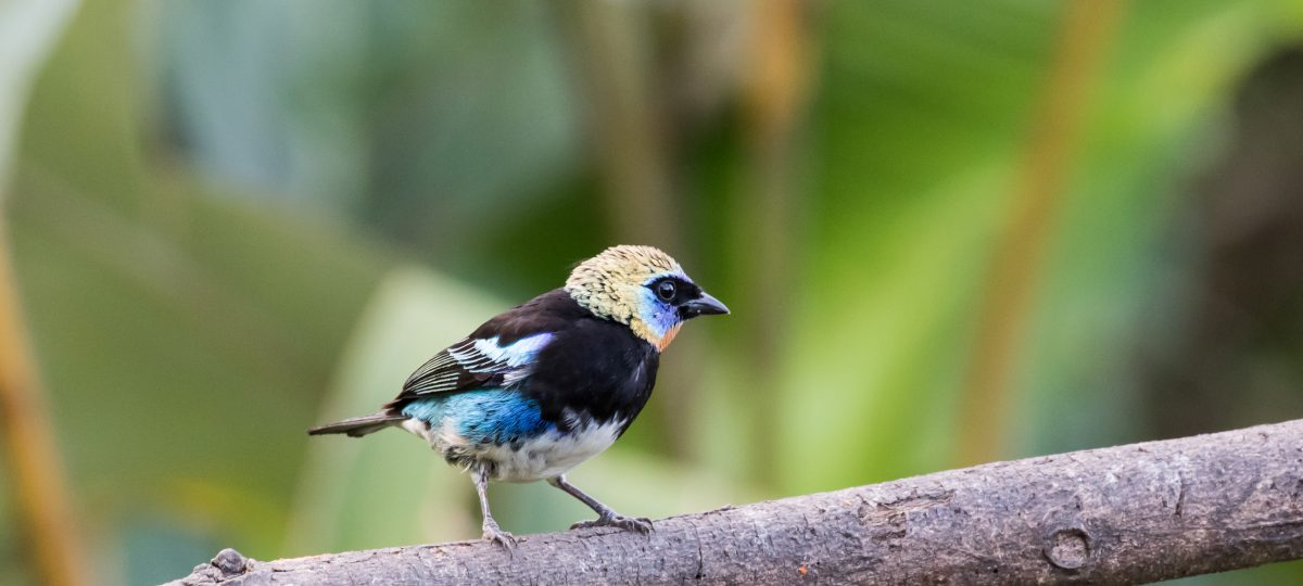 Golden-hooded tanager, Costa Rica-featured_image