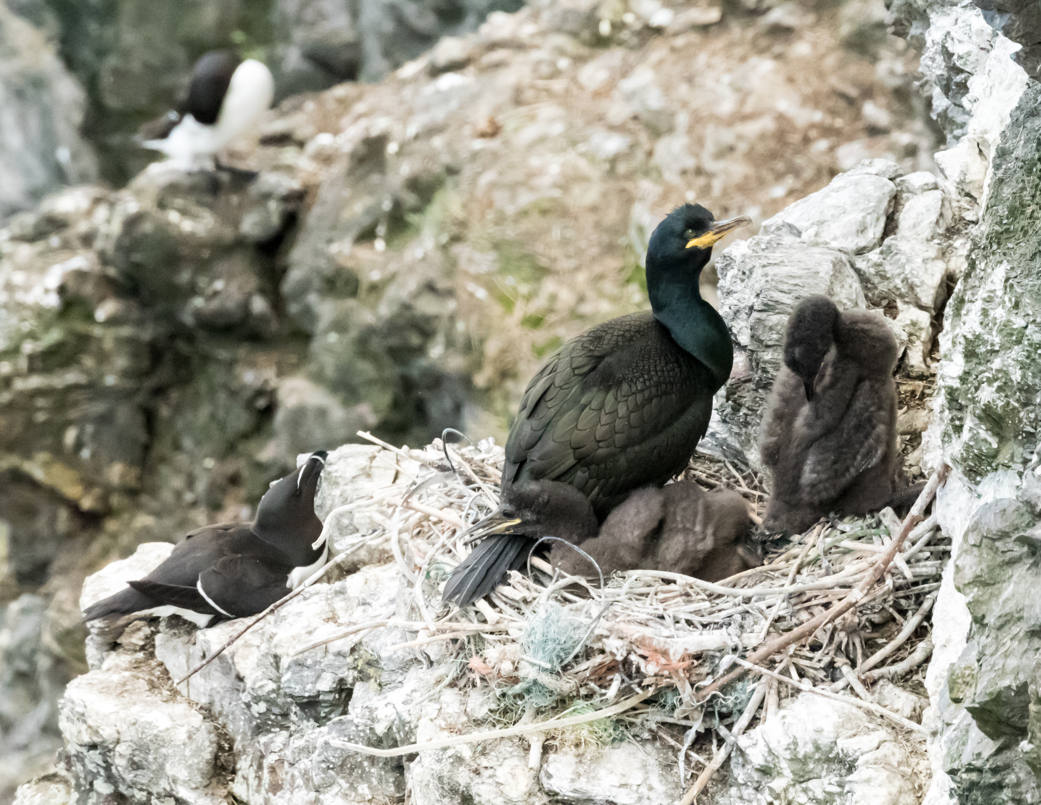 Cormorants with chicks