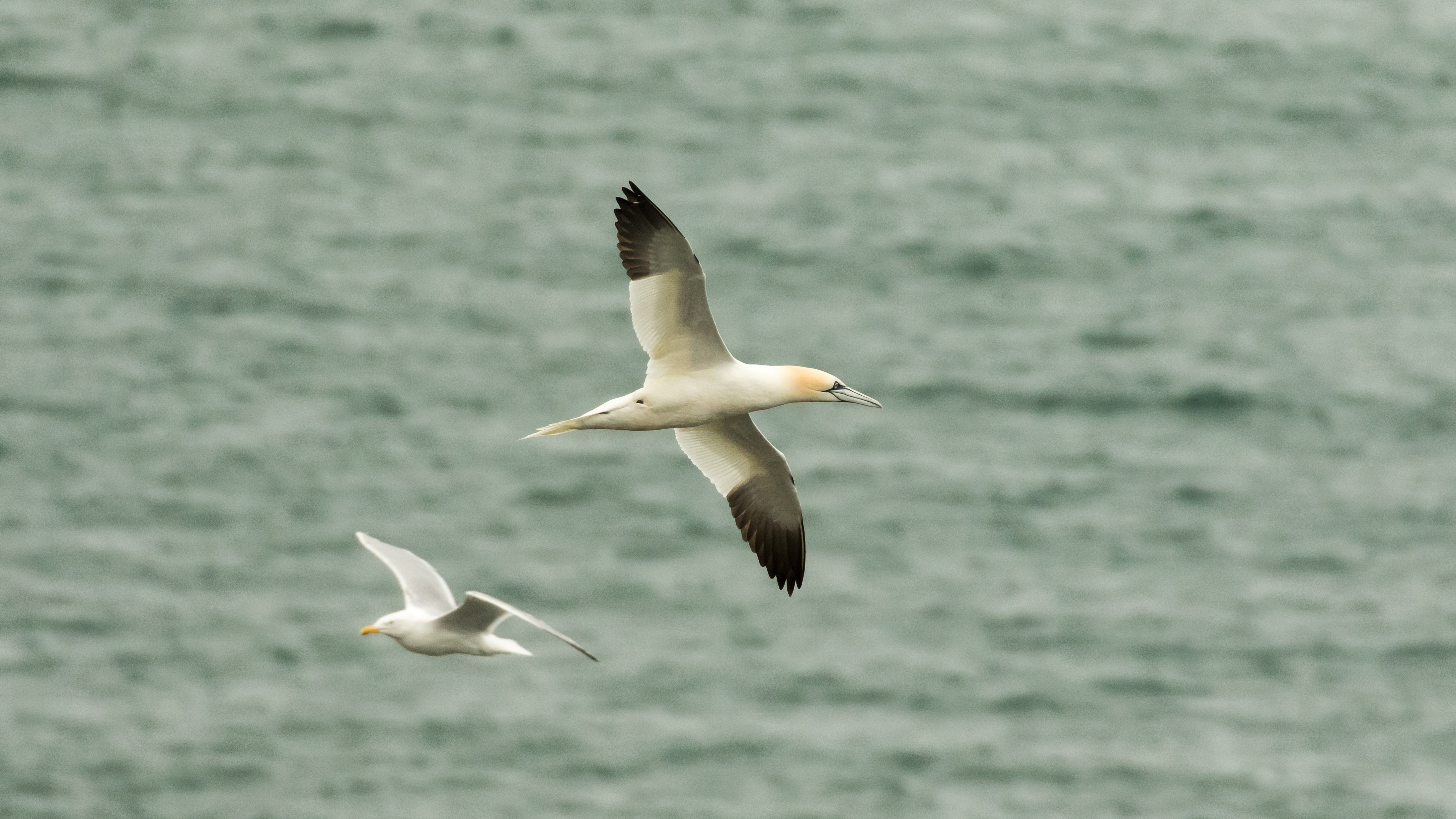 Gannet and gull in flight