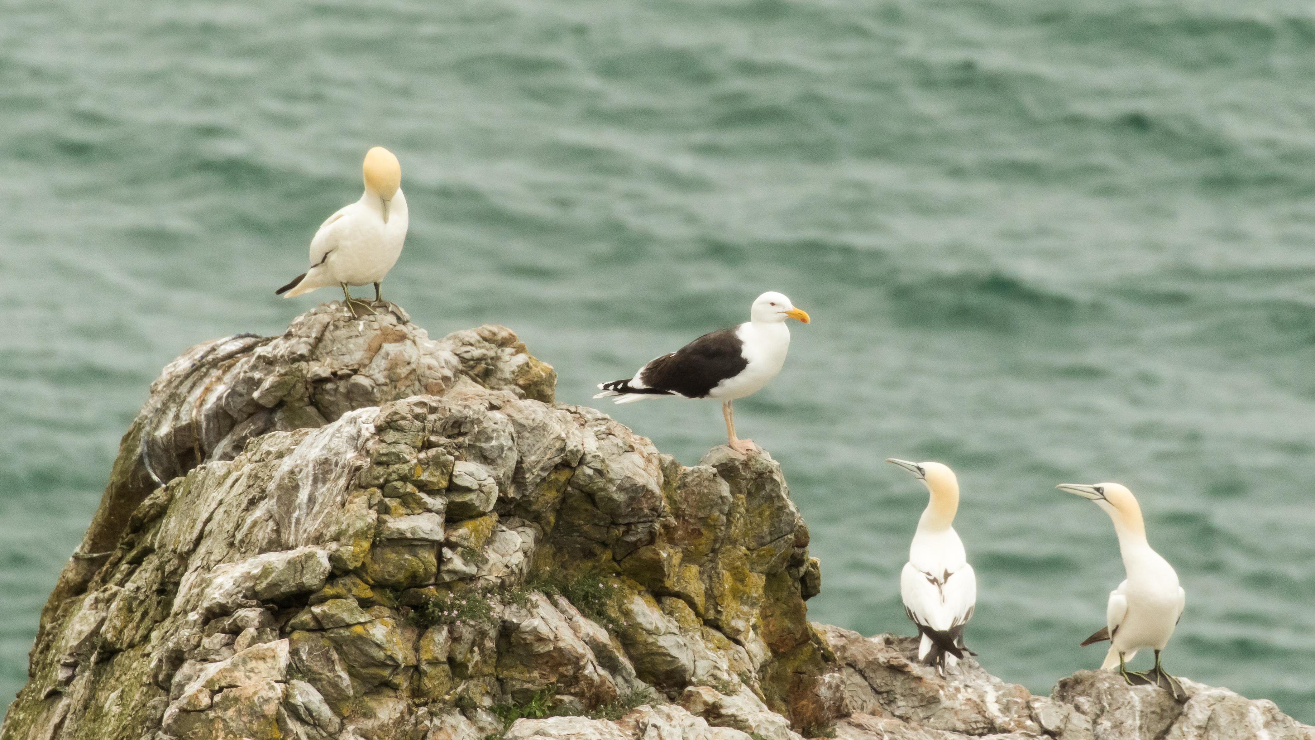 Gannet pair and gull