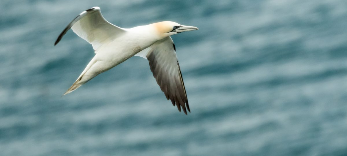 The gannets of Ireland's Eye-featured_image
