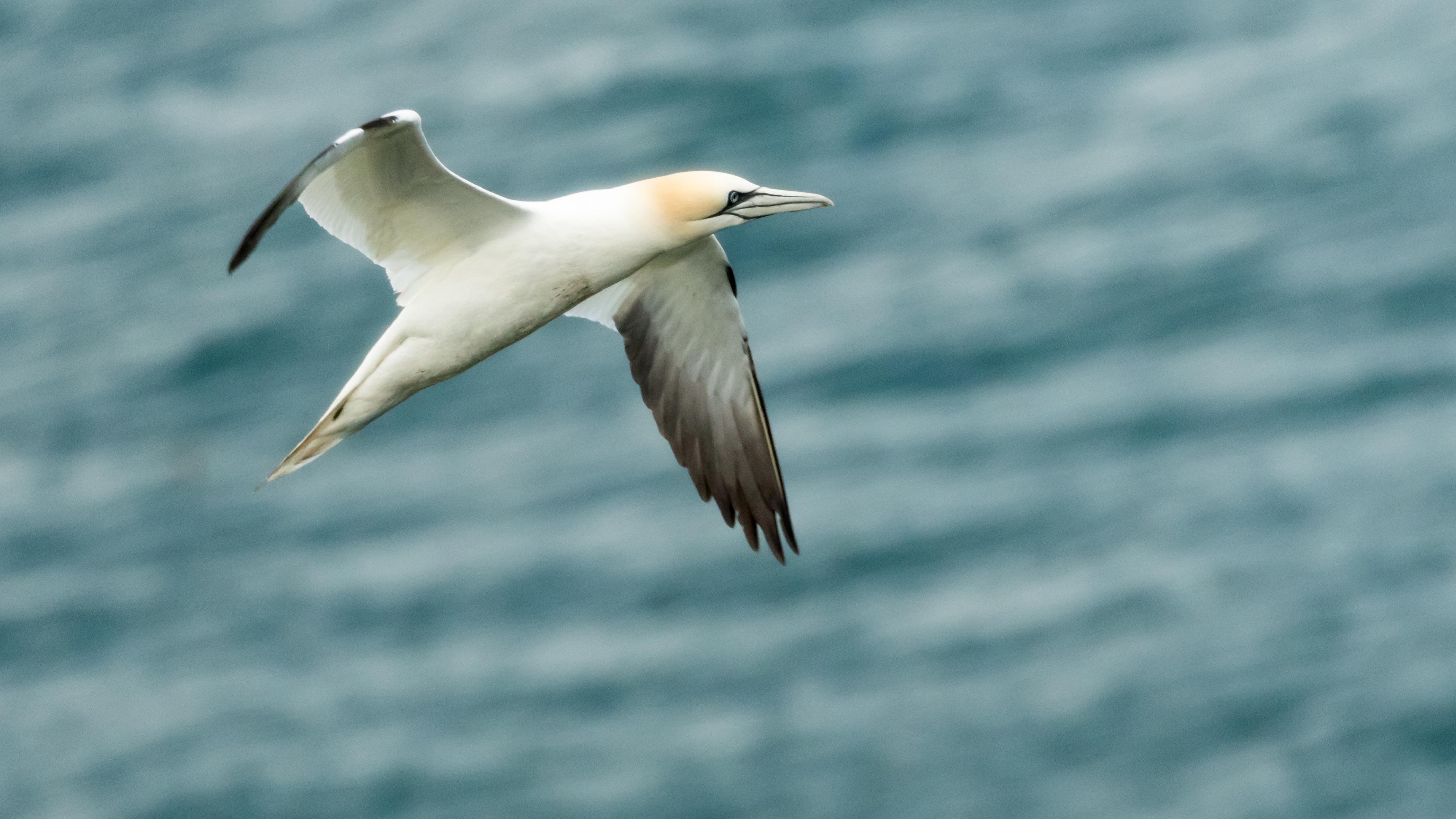 Gannet ascending