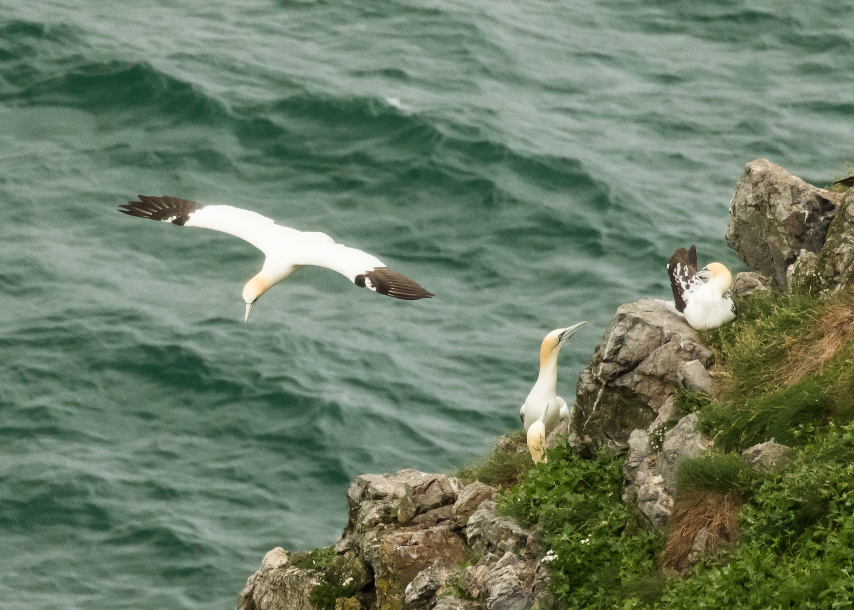 Gannets on cliff