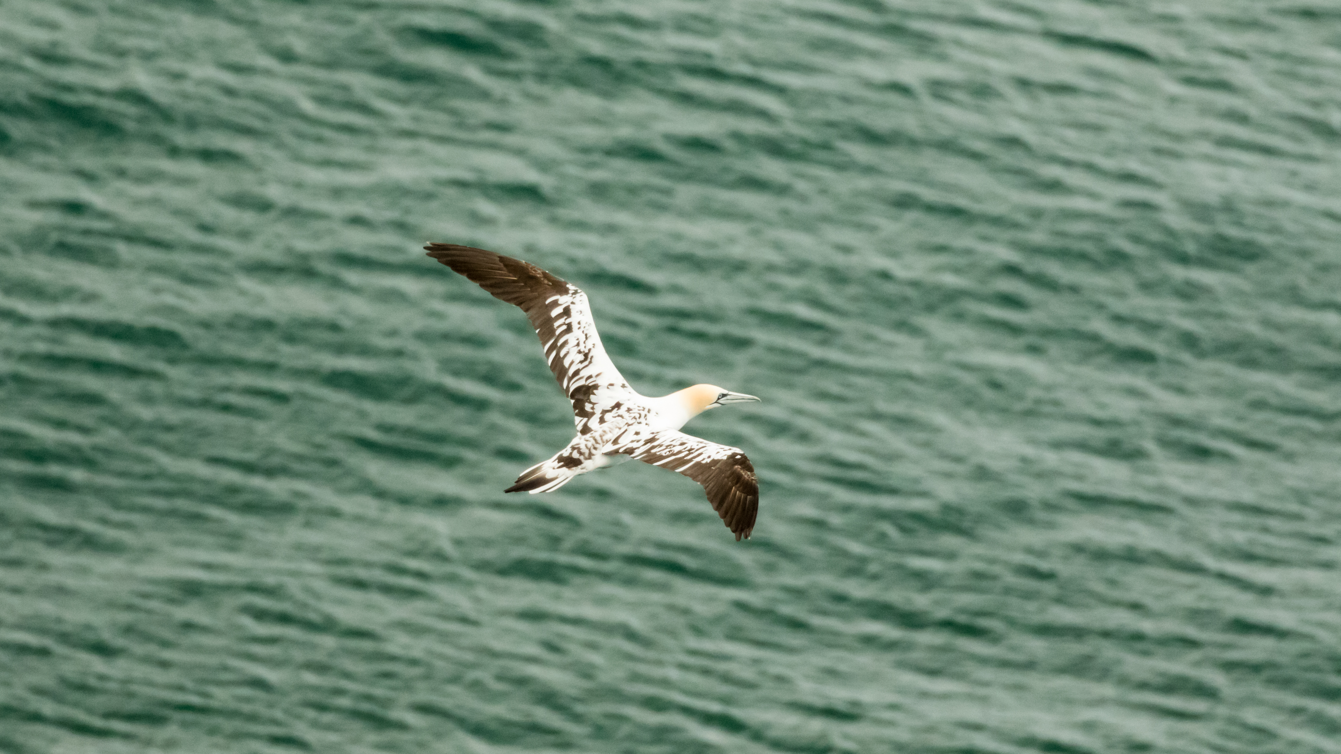 spotted gannet-