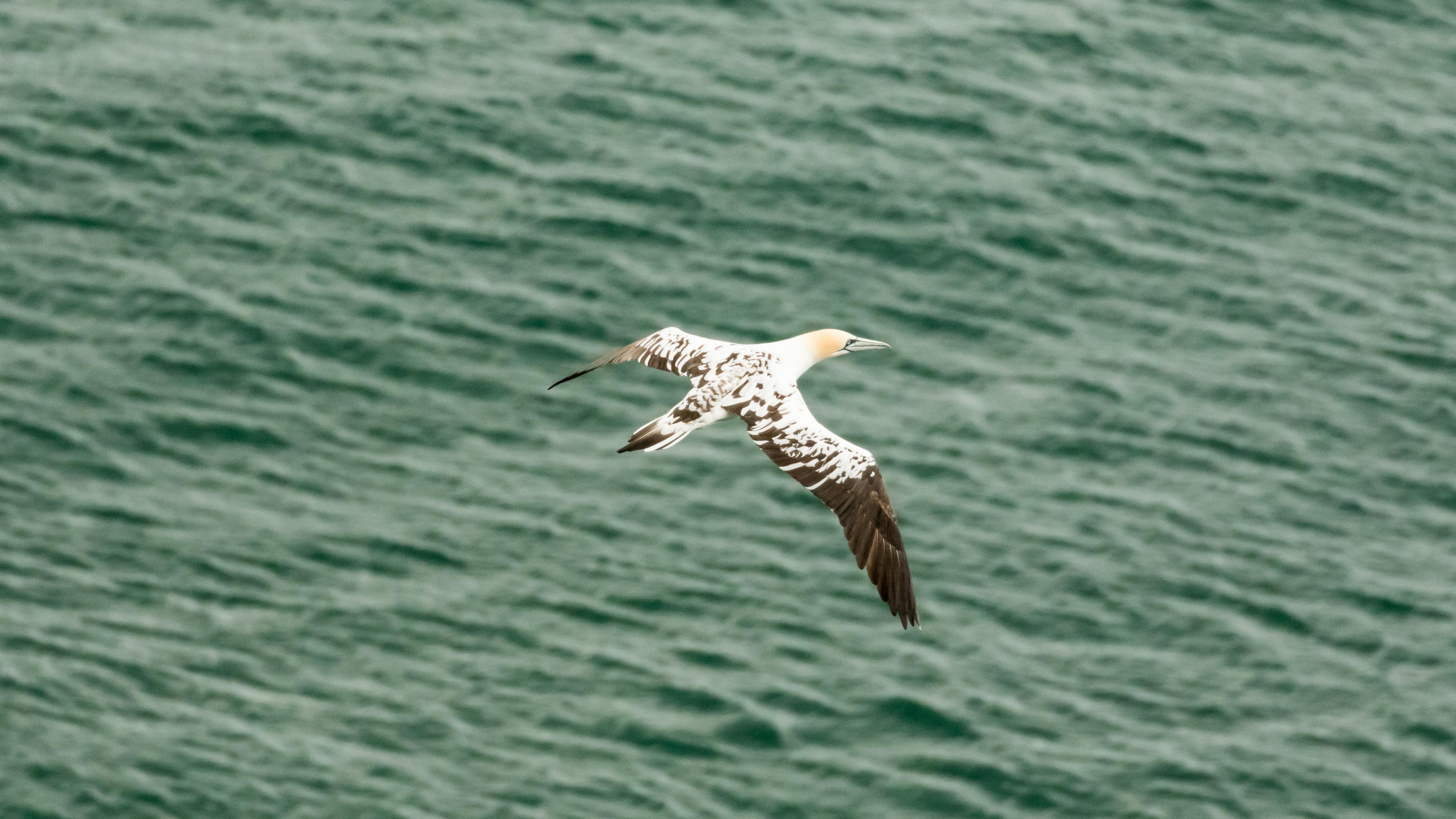 Spotted gannet  in flight